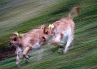 kalber_rennen